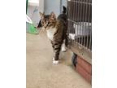 Adopt Fred a Domestic Shorthair / Mixed (short coat) cat in Chaska