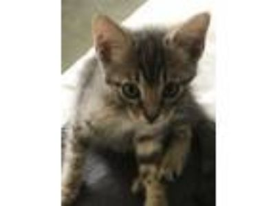 Adopt Bob a Gray, Blue or Silver Tabby Domestic Mediumhair (medium coat) cat in