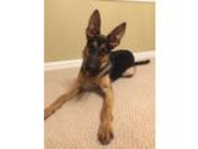 Adopt Marty a Black - with Tan, Yellow or Fawn German Shepherd Dog dog in Front