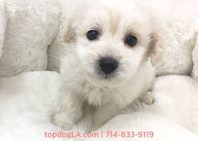 Cock-A-Poo PUPPY FOR SALE ADN-78655 - Cacapoo Female Tammy