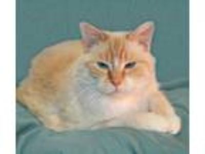Adopt Lexy a Cream or Ivory Siamese (short coat) cat in Victoria, MN (25251276)