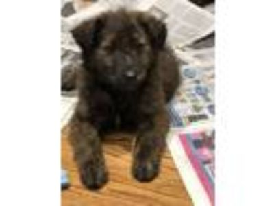 Adopt Perrier a Golden Retriever, Dutch Shepherd