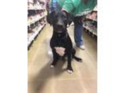 Adopt Onyx a Black - with White Labrador Retriever / Mixed dog in McDonough