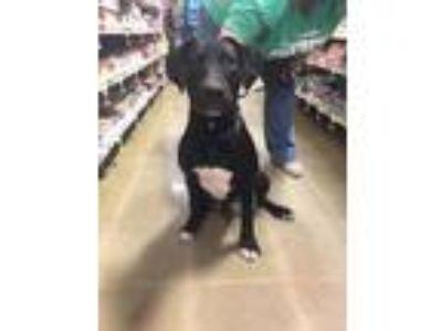 Adopt Onyx a Black - with White Labrador Retriever / Mixed dog in McDonough