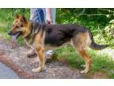 Adopt Rusty a German Shepherd Dog