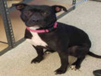 Adopt CHLOE a Black - with White American Pit Bull Terrier / Mixed dog in Lodi