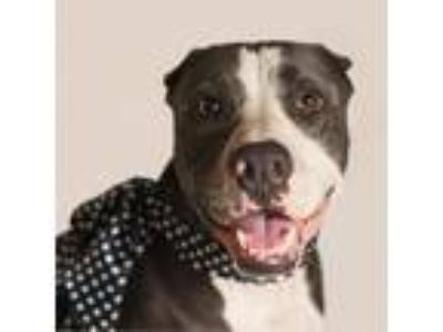 Adopt Violet a American Staffordshire Terrier