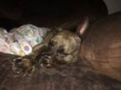 Adopt Nala a Brindle American Pit Bull Terrier / American Staffordshire Terrier