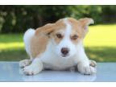 Adopt Fancy a Tan/Yellow/Fawn - with White Collie / Mixed dog in Waldorf