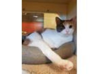 Adopt Lani a Brown or Chocolate Domestic Shorthair / Domestic Shorthair / Mixed