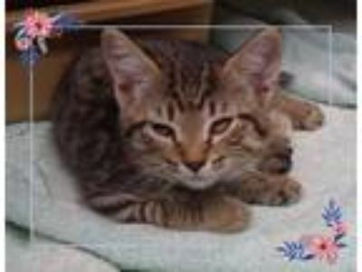 Adopt AUBRIE a Gray, Blue or Silver Tabby Domestic Shorthair (short coat) cat in
