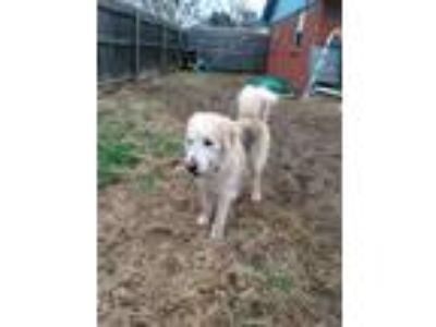 Adopt Hank a White - with Gray or Silver Leonberger / Husky / Mixed dog in