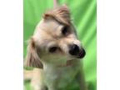 Adopt Little Lady a White - with Tan, Yellow or Fawn Pekingese / Pomeranian /