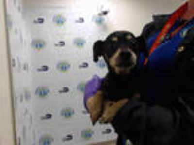 Adopt PANCHO a Black - with Tan, Yellow or Fawn Miniature Pinscher / Mixed dog