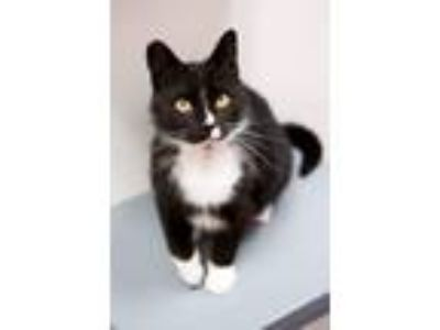 Adopt Tux - Gives Hugs, Playful, Easy-going a Domestic Short Hair