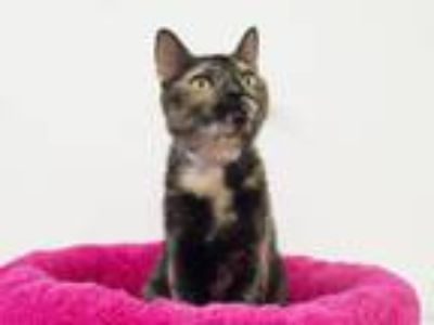 Adopt Crystal a Domestic Short Hair