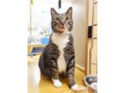 Adopt Mulberry a Brown or Chocolate Domestic Shorthair / Domestic Shorthair /
