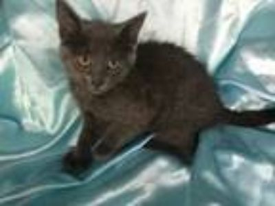 Adopt Grayson Bear a Russian Blue, Extra-Toes Cat / Hemingway Polydactyl