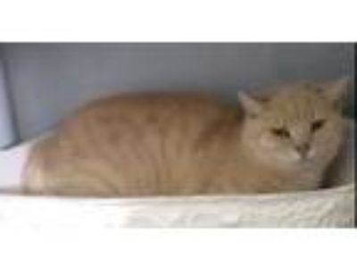 Adopt Francis a Orange or Red (Mostly) Domestic Shorthair (short coat) cat in