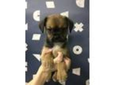 Adopt Cirrus a Brown/Chocolate - with Black Tibetan Spaniel / Cattle Dog / Mixed