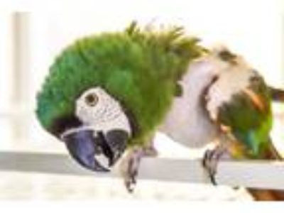 Adopt Tinker a Macaw