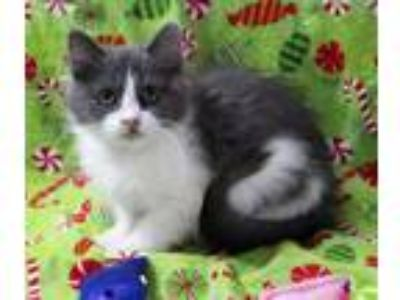 Adopt Leah a Maine Coon, Persian