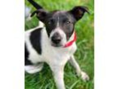 Adopt Tango a White Rat Terrier / Mixed dog in Chester Springs, PA (25347094)