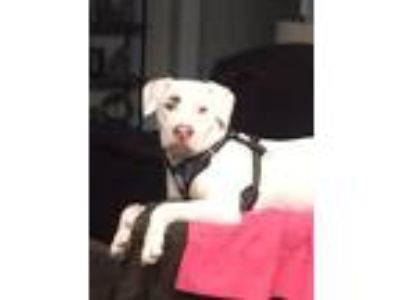 Adopt Tebow a White American Pit Bull Terrier dog in Hernando, MS (25037664)