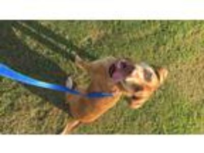 Adopt Nala a Tan/Yellow/Fawn Catahoula Leopard Dog / Mixed dog in Florence