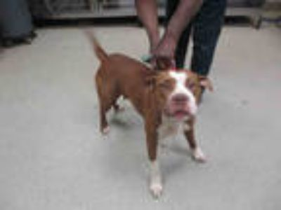 Adopt TINA a Brown/Chocolate - with White American Pit Bull Terrier / Mixed dog