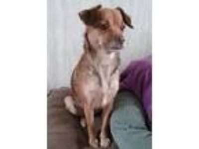Adopt Pearl a Brown/Chocolate Terrier (Unknown Type, Medium) / Mixed dog in