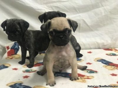 Fawn and Brindle Pug Puppies