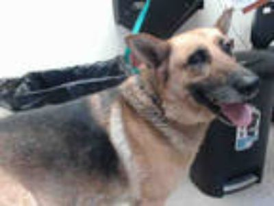 Adopt BAILEY a Tan/Yellow/Fawn - with Black German Shepherd Dog / Mixed dog in
