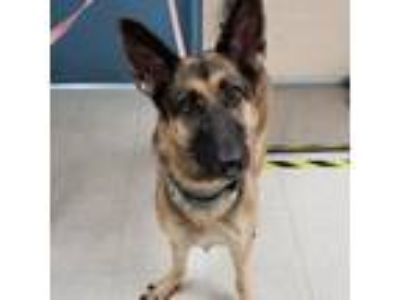 Adopt Lady a Tan/Yellow/Fawn German Shepherd Dog dog in Sarasota, FL (25922133)