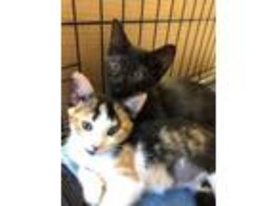 Adopt Jem and Scout a Domestic Shorthair / Mixed (short coat) cat in Windsor