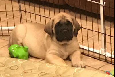 Mastiff Puppies - Fanastic breeding and pedigree