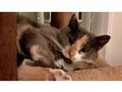Adopt Sandy a Calico or Dilute Calico Domestic Shorthair (short coat) cat in