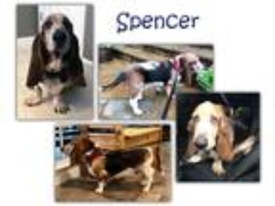 Adopt Spencer a Tricolor (Tan/Brown & Black & White) Basset Hound / Mixed dog in