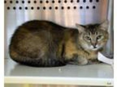 Adopt Fefe Barn Cat a Domestic Short Hair