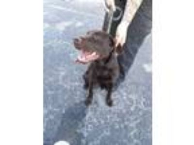 Adopt Jack a Brown/Chocolate Retriever (Unknown Type) / Mixed dog in Land