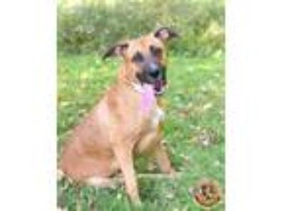 Adopt Harrison a Brown/Chocolate - with Black Shepherd (Unknown Type) / Mixed