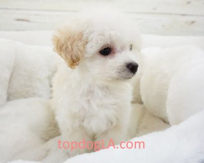 Maltipoo Puppy - Male – Jaiden ($1,299)