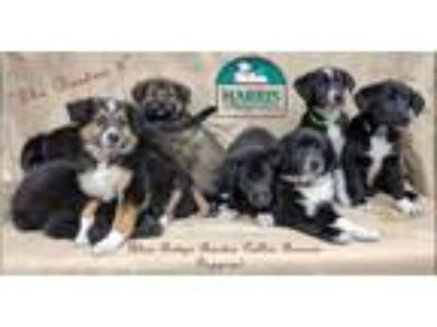 Adopt The Boston 9 Puppies a Border Collie, Labrador Retriever
