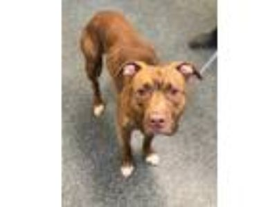 Adopt HUNTER a Pit Bull Terrier, Mixed Breed