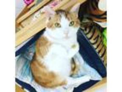 Adopt SARAFINA a Orange or Red Tabby Domestic Shorthair / Mixed (short coat) cat