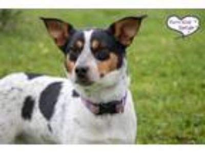 Adopt Pony a White - with Black Australian Cattle Dog / Mixed dog in Lee's