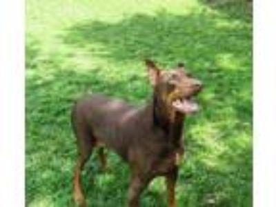 Adopt Cassie a Doberman Pinscher