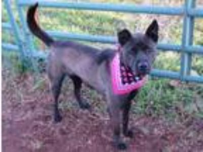 Adopt LADY 218612 a Black Labrador Retriever, Shepherd