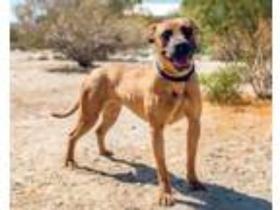 Adopt Harley a American Staffordshire Terrier, Mixed Breed