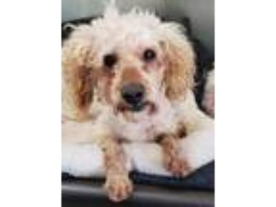 Adopt DOUGLAS a White Poodle (Toy or Tea Cup) / Mixed dog in San Martin